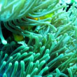 Blackfinned anemonefish (Amphiprion nigripes) in sea anemone in Maldives — Stock Video #69464341