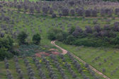 Olive tree plantation in Tuscany — Stok fotoğraf