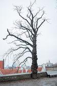 Old tree. — Stock Photo
