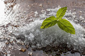 Mint and salt on a wodden board — Stockfoto