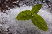 Mint on salt — Stockfoto