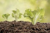 Lettuce seedlings in the garden — Stock Photo