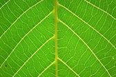 Leaf walnut — Stok fotoğraf
