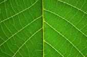 лист грецкого ореха — Стоковое фото