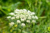 Carrot flower — Stockfoto