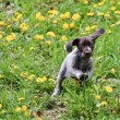 Постер, плакат: Puppy playing in the grass