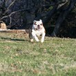English bulldog running — Stock Photo #52256397