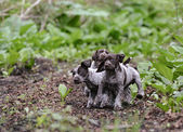 Litter of puppies playing — Stock Photo