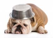 Cão com fome — Foto Stock