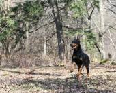 Doberman running — Stockfoto