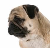 Pug head portrait — Stock Photo