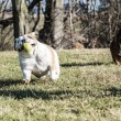 Two dogs playing catch — Stock Photo #61119319
