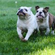 Two dogs running in the grass — Stock Photo #61119413