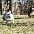 Two dogs playing catch — Stock Photo #61119813