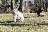 Two dogs playing catch — Stock Photo