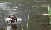 Dog swimming — Stock Photo