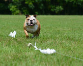Lure coursing — Stock Photo