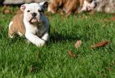 Inglês bulldog cachorrinho — Fotografia Stock