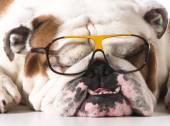 Dog wearing glasses — Stock Photo