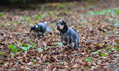 English cocker spaniel puppies — Stock Photo