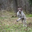 German shorthaired pointer — Stock Photo #61361999