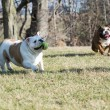 Two dogs playing catch — Stock Photo #61363383