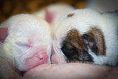 Puppies nursing — Stock Photo