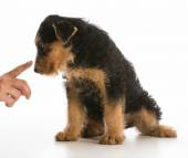 Scolding puppy — Stock Photo