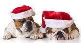 Christmas dogs — Stock Photo