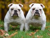 Two bulldogs — Stock Photo
