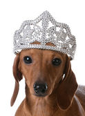 Spoiled dog wearing tiara — Stock Photo