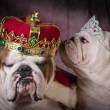Royal couple of two english bulldogs — Stock Photo #65833139