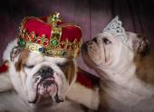 Royal couple of two english bulldogs — Stock Photo