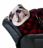 Bulldog dressed like a man — Stock Photo