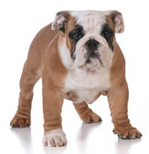 Cachorro de bulldog — Foto de Stock