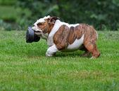Dog stealing shoe — Stock Photo