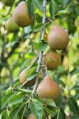 Pears on tree — Stock Photo