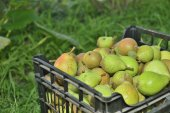 Sale pears in basket on market — Stock Photo
