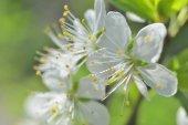 White macro spring blossoms — Stock Photo