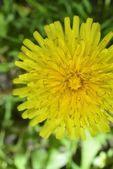 Macro zoomed yellow dandelion — Stock Photo