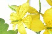Flowering celandine — Stock Photo