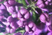 Lilac buds — Stock Photo