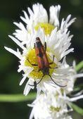 Bug on camomile — Stock Photo