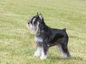 Purebred  dog Miniature schnauzer on green grass — Stock Photo
