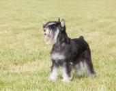 Purebred  dog Miniature schnauzer on green grass — Foto de Stock