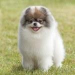 Pomeranian spitz puppy on green grass — Stock Photo #63035331