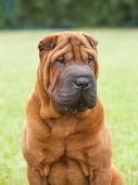 Portrait of a purebred  dog Chinese Shar-Pei on a green background — Stock Photo