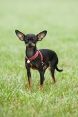 Portrait of a purebred  dog Russian Toy on a green background — Stock Photo