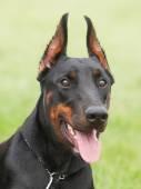 Portrait of a purebred dog Doberman Pinscher i on a green backgr — Stock Photo