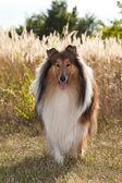 Portrait of purebred dog Rough Collie. — Stock Photo